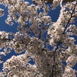 Frankfurt blossom